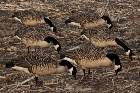 Avian X Flocked Canada Goose Feeders (6 Pack)